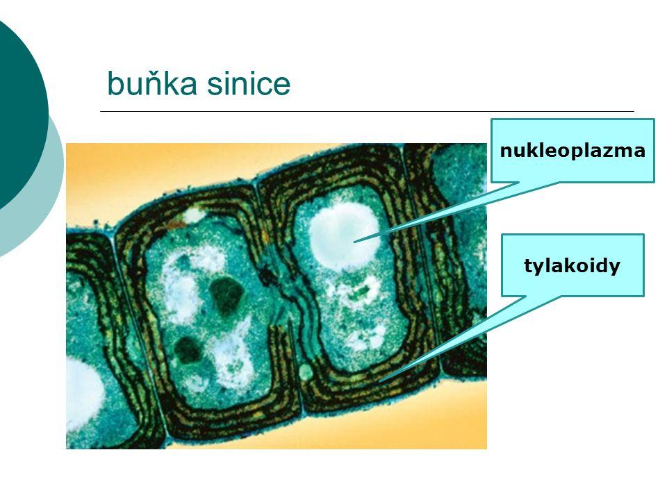 buňka sinice tylakoidy nukleoplazma