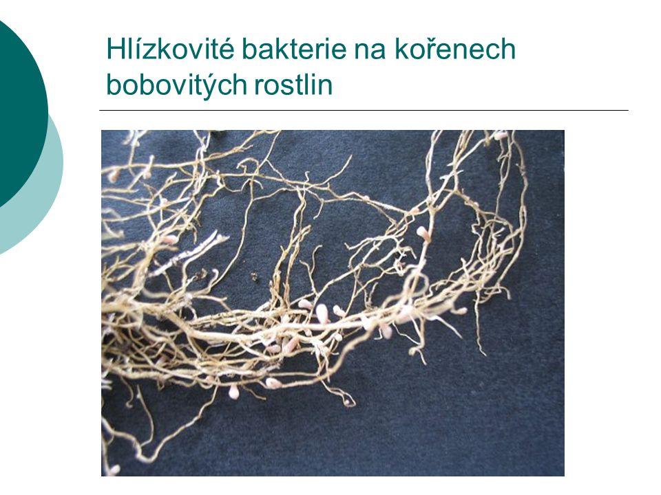 Bakterie mléčného kvašení - lactobacillus