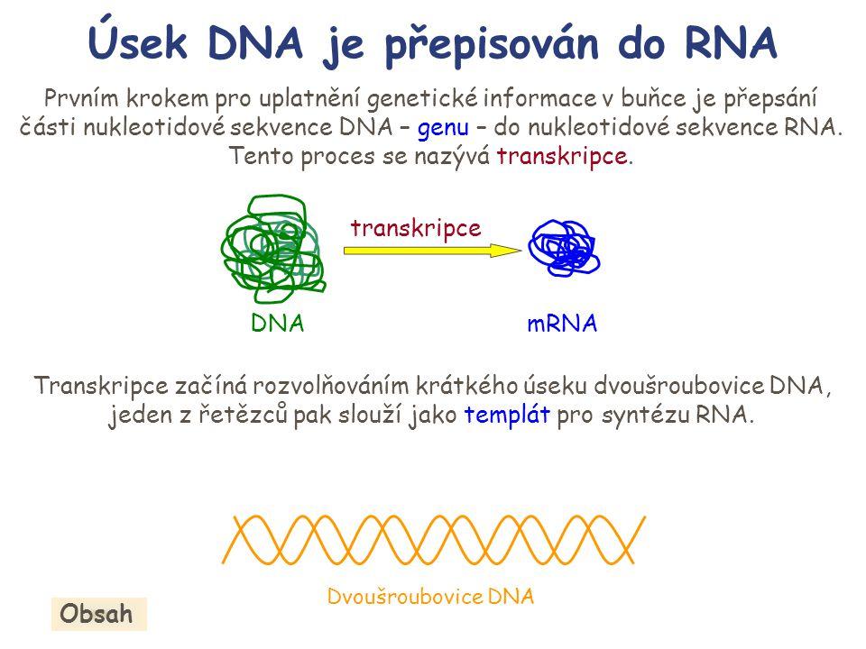 Úsek DNA je přepisován do RNA Prvním krokem pro uplatnění genetické informace v buňce je přepsání části nukleotidové sekvence DNA – genu – do nukleoti