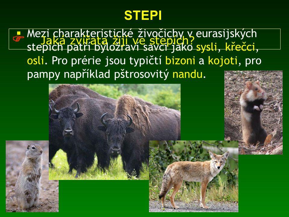  Mezi charakteristické živočichy v eurasijských stepích patří býložraví savci jako sysli, křečci, osli. Pro prérie jsou typičtí bizoni a kojoti, pro