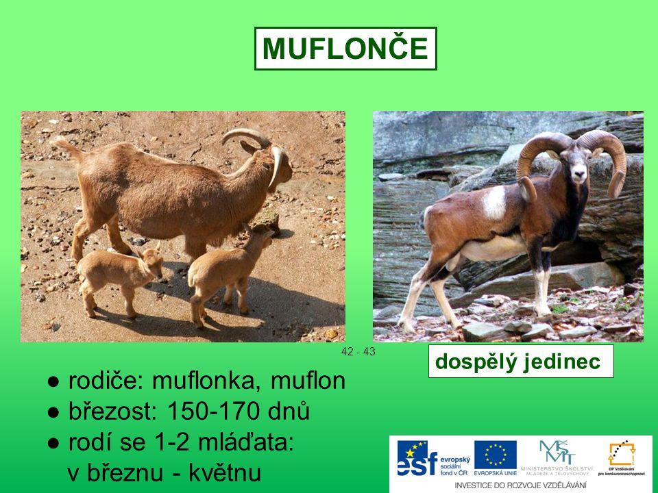● rodiče: laň, jelen evropský ● březost: 240 – 262 dnů ● rodí se 1-2 mláďata ● narozené mládě - váha asi 15 kg - do 3 měsíců závislé na matce ● koncem