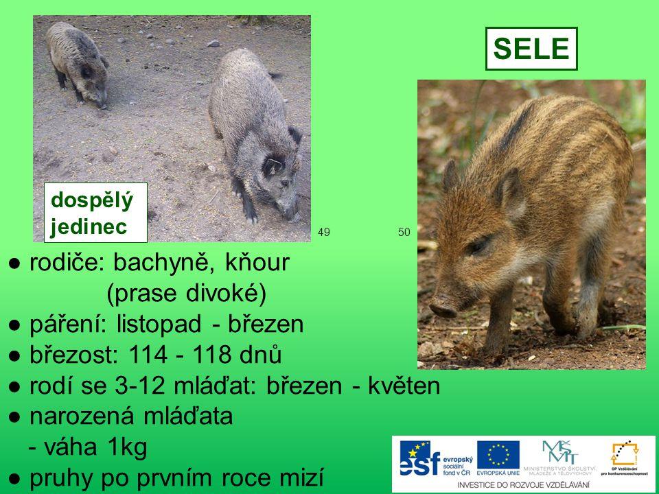 ● rodiče: liška obecná, lišák ● páření: leden-únor ● březost: 50-56 dnů ● rodí se 4-13 mláďat ● narozená mláďata - slepá - vlnitá šedočerná srst LIŠČE