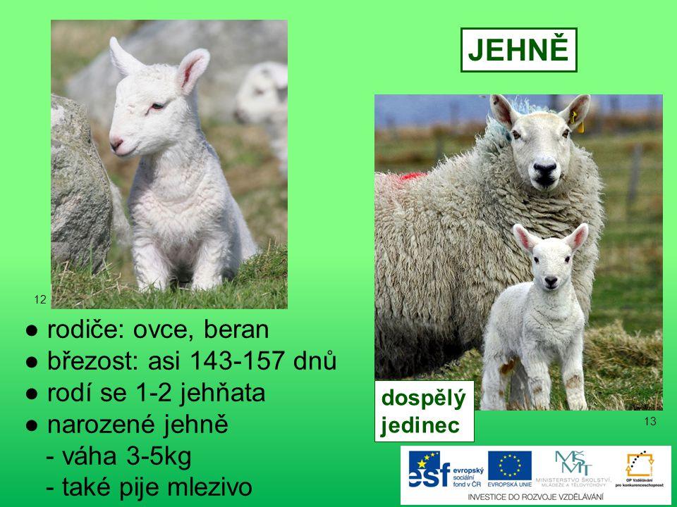 ● rodiče: koza, kozel ● březost: asi 150 dnů ● narozené kůzle - váha asi 3kg - taktéž se musí napít mleziva KŮZLE dospělý jedinec 11 10