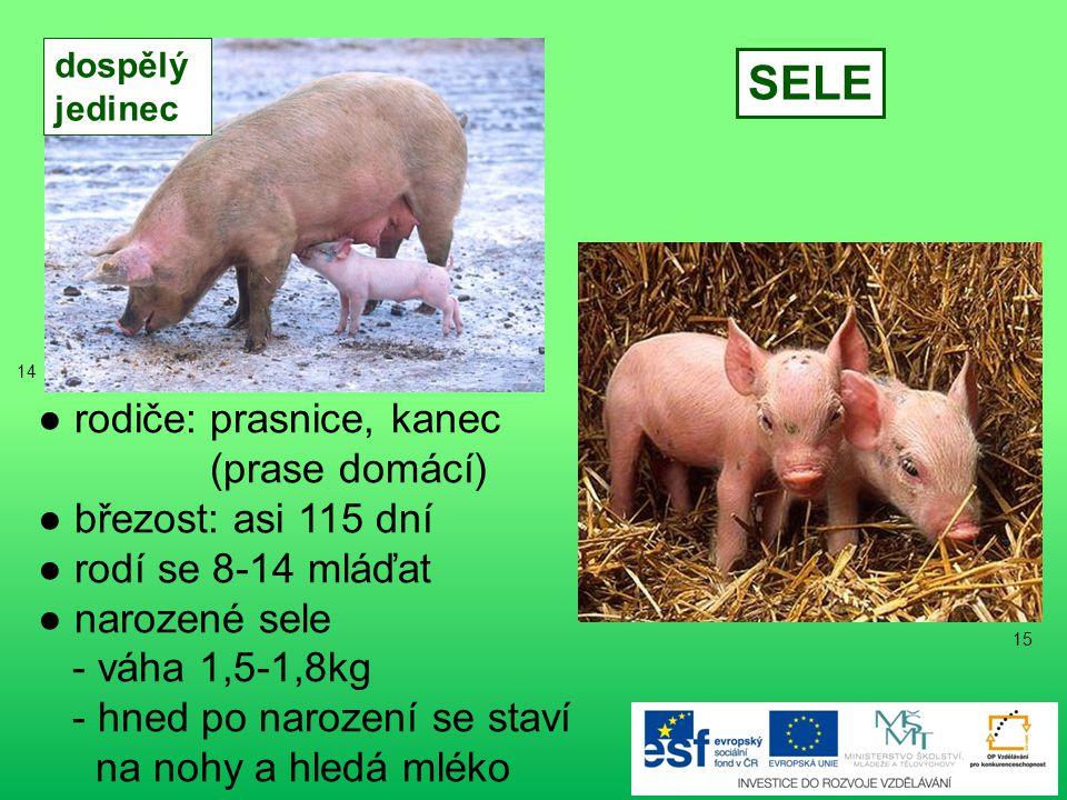 ● rodiče: prasnice, kanec (prase domácí) ● březost: asi 115 dní ● rodí se 8-14 mláďat ● narozené sele - váha 1,5-1,8kg - hned po narození se staví na nohy a hledá mléko SELE dospělý jedinec 15 14