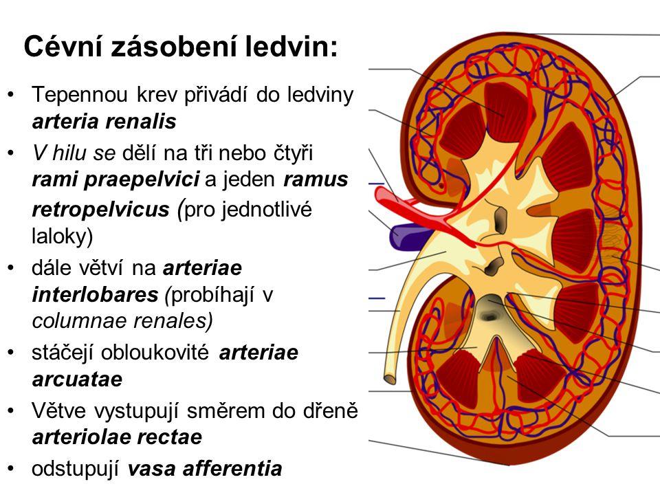Cévní zásobení ledvin: Tepennou krev přivádí do ledviny arteria renalis V hilu se dělí na tři nebo čtyři rami praepelvici a jeden ramus retropelvicus