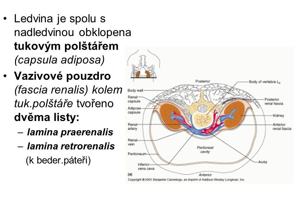 Ledvina je spolu s nadledvinou obklopena tukovým polštářem (capsula adiposa) Vazivové pouzdro (fascia renalis) kolem tuk.polštáře tvořeno dvěma listy: