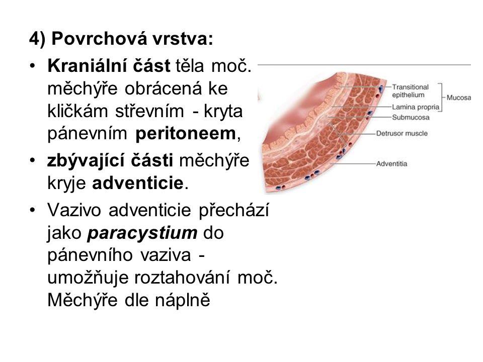 4) Povrchová vrstva: Kraniální část těla moč. měchýře obrácená ke kličkám střevním - kryta pánevním peritoneem, zbývající části měchýře kryje adventic
