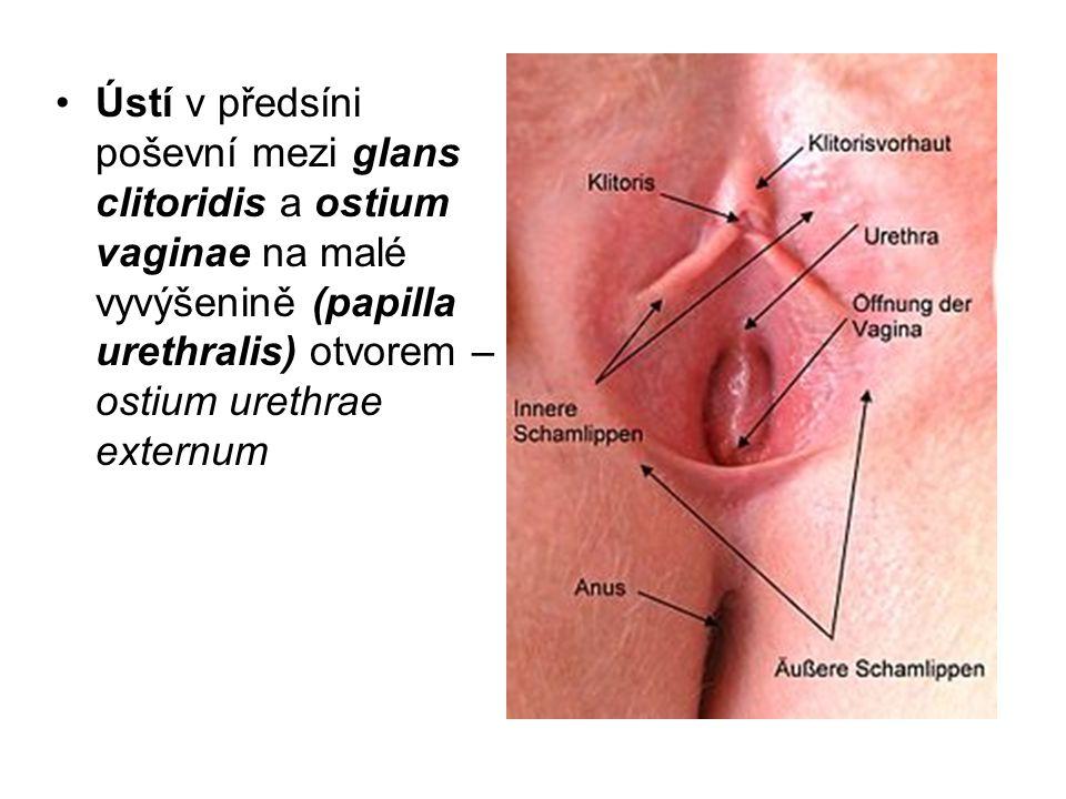 Ústí v předsíni poševní mezi glans clitoridis a ostium vaginae na malé vyvýšenině (papilla urethralis) otvorem – ostium urethrae externum