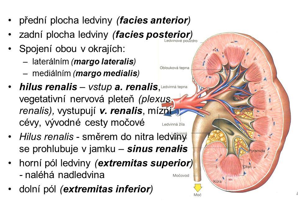 přední plocha ledviny (facies anterior) zadní plocha ledviny (facies posterior) Spojení obou v okrajích: –laterálním (margo lateralis) –mediálním (mar