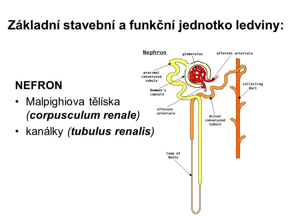 Základní stavební a funkční jednotko ledviny: NEFRON Malpighiova tělíska (corpusculum renale) kanálky (tubulus renalis)