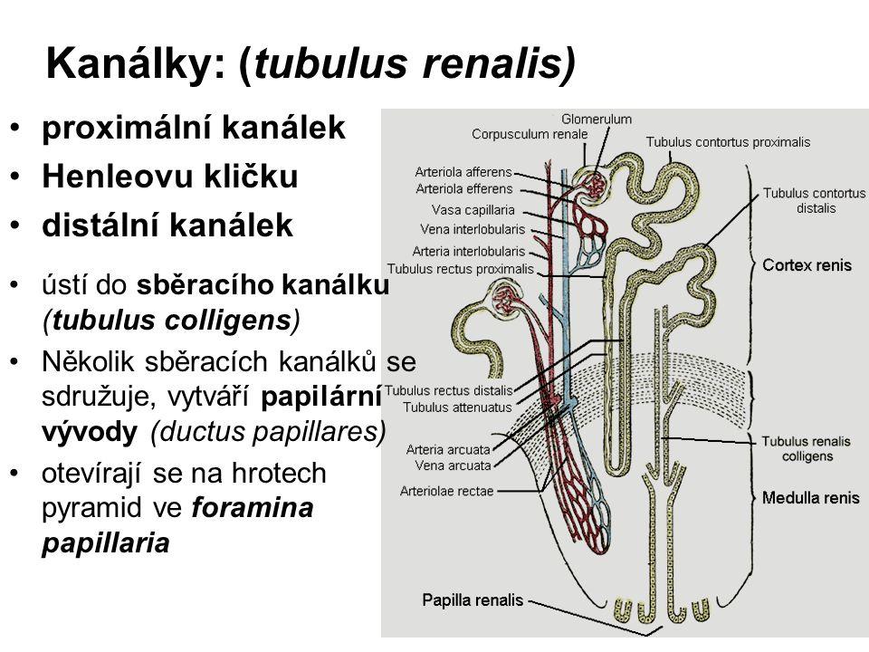 Kanálky: (tubulus renalis) proximální kanálek Henleovu kličku distální kanálek ústí do sběracího kanálku (tubulus colligens) Několik sběracích kanálků