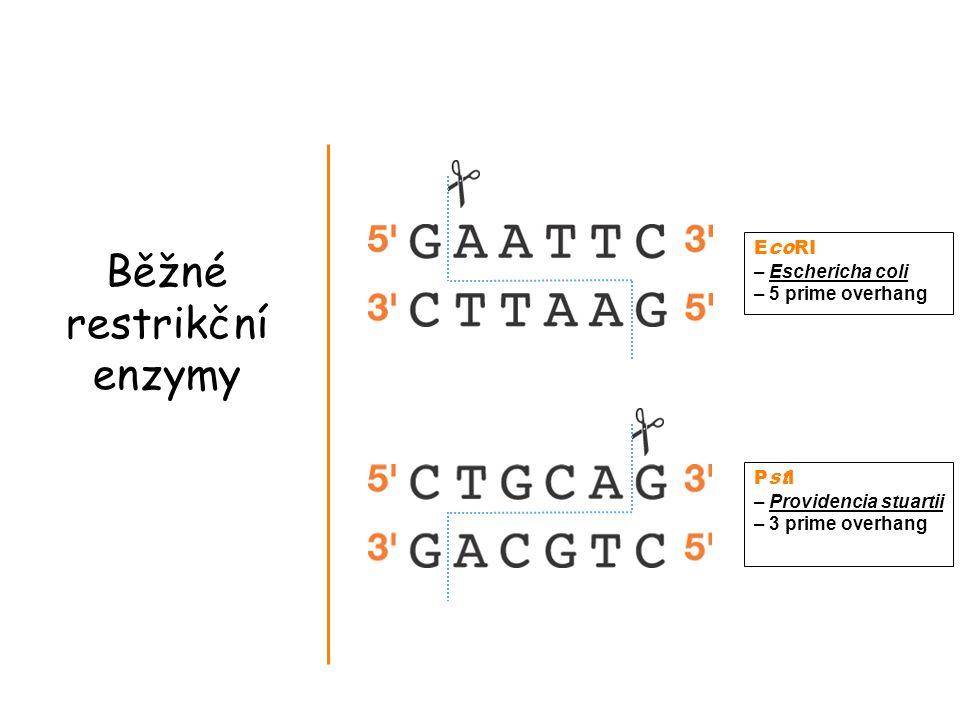 Běžné restrikční enzymy EcoRI – Eschericha coli – 5 prime overhang Pstl – Providencia stuartii – 3 prime overhang