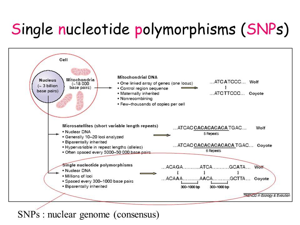 SSCP of three individuals:- different alleles - same alleles Carpodacus erythrinus – MHC Class I (Promerová et al.