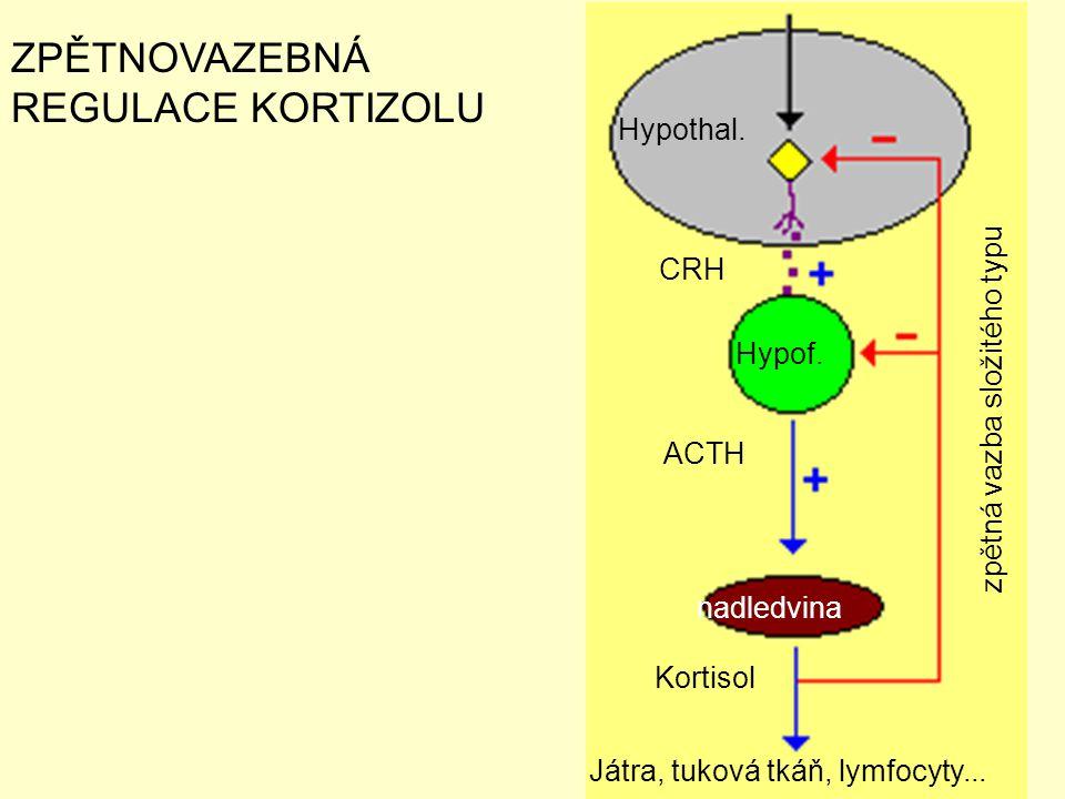 CRH ACTH Kortisol Játra, tuková tkáň, lymfocyty... ZPĚTNOVAZEBNÁ REGULACE KORTIZOLU Hypothal. Hypof. nadledvina zpětná vazba složitého typu