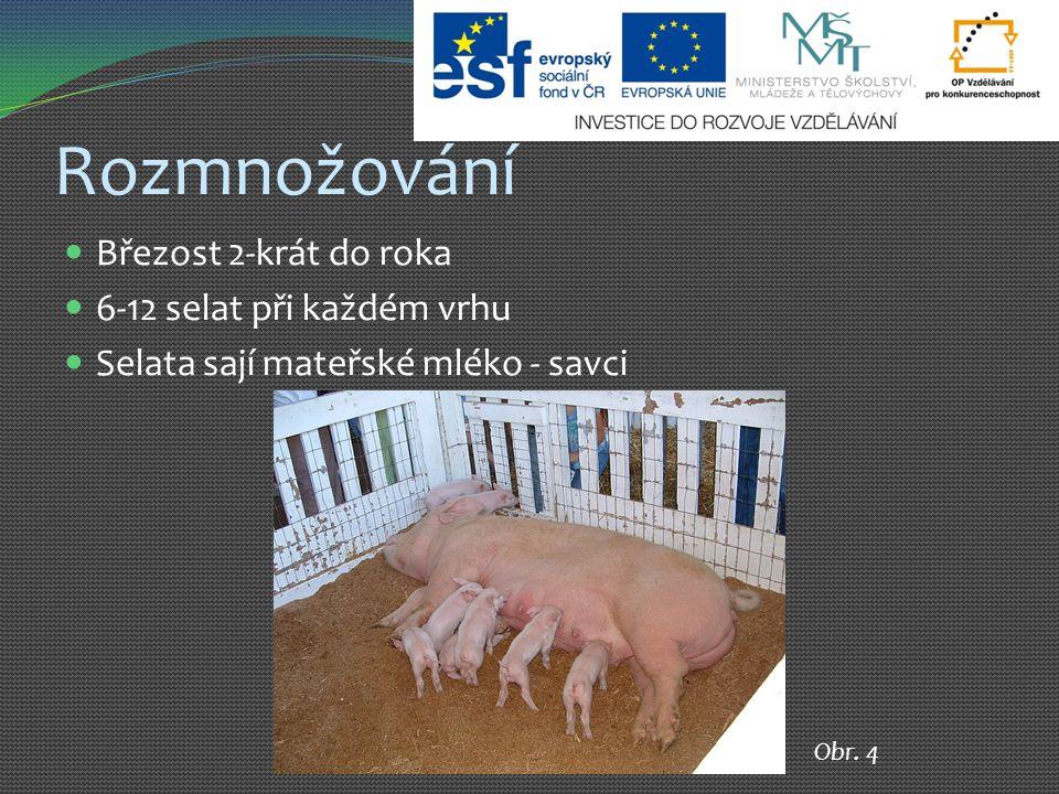 Rozmnožování Březost 2-krát do roka 6-12 selat při každém vrhu Selata sají mateřské mléko - savci Obr.
