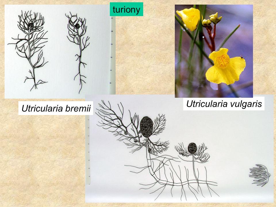 Utricularia bremii Utricularia vulgaris turiony