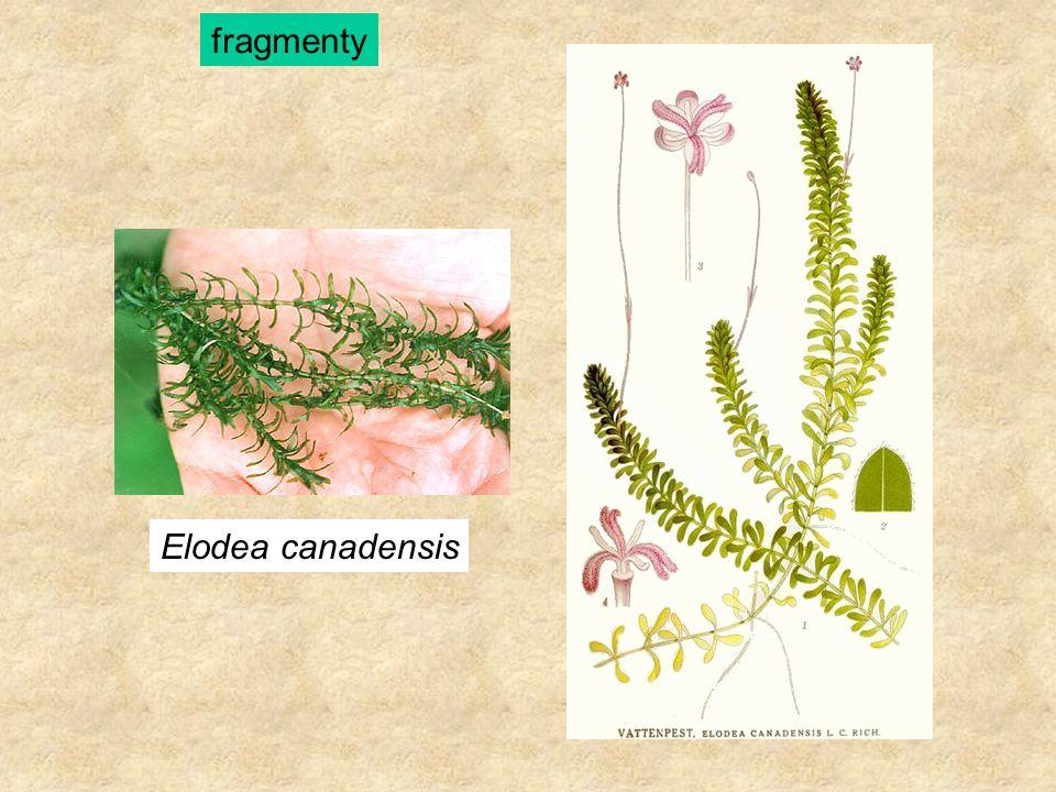 Elodea canadensis fragmenty