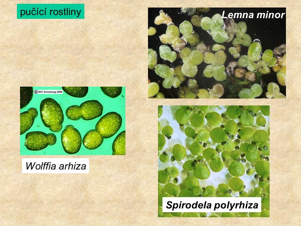 Wolffia arhiza Lemna minor Spirodela polyrhiza pučící rostliny