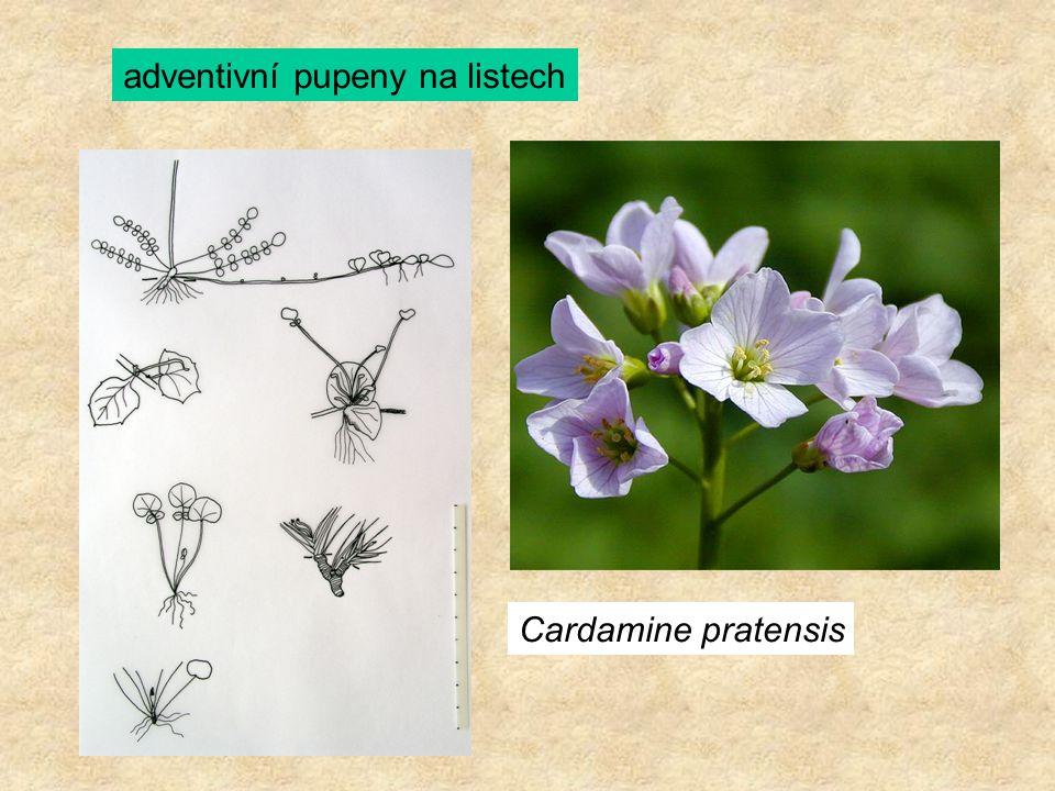 adventivní pupeny na listech Cardamine pratensis