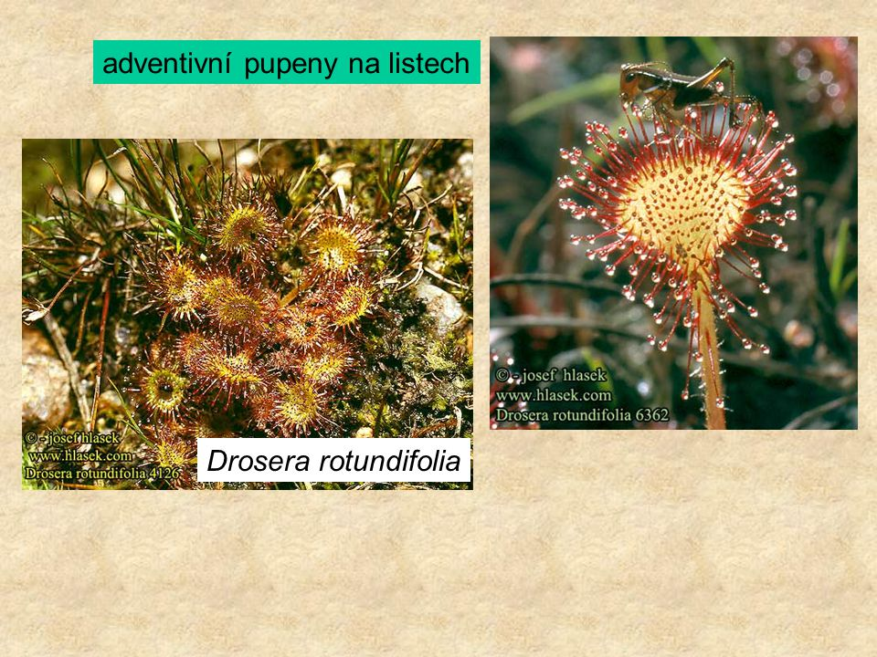 Drosera rotundifolia adventivní pupeny na listech