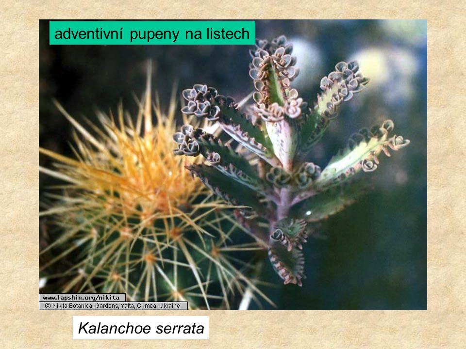 Kalanchoe serrata adventivní pupeny na listech