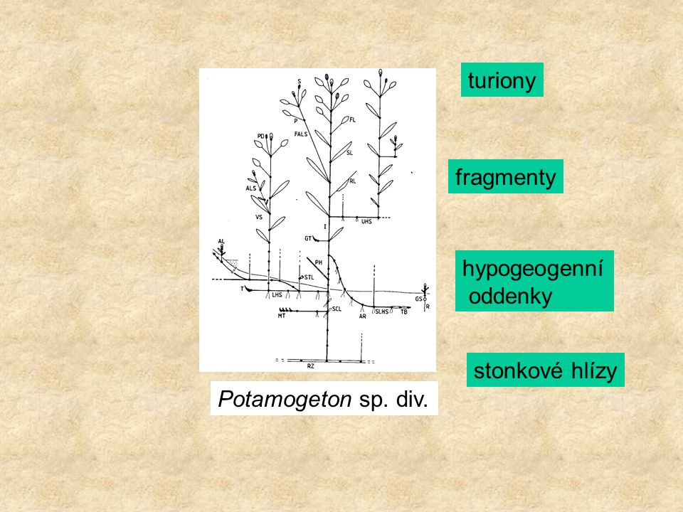 Potamogeton sp. div. turiony fragmenty hypogeogenní oddenky stonkové hlízy
