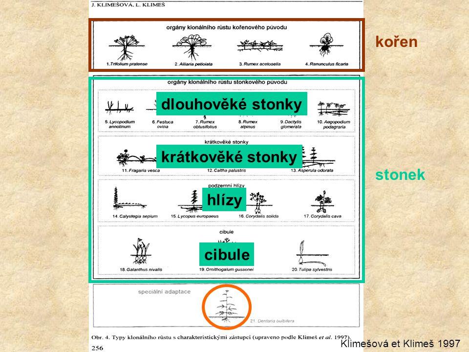 kořen stonek dlouhověké stonky krátkověké stonky hlízy cibule Klimešová et Klimeš 1997