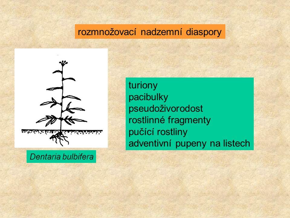rozmnožovací nadzemní diaspory Dentaria bulbifera turiony pacibulky pseudoživorodost rostlinné fragmenty pučící rostliny adventivní pupeny na listech