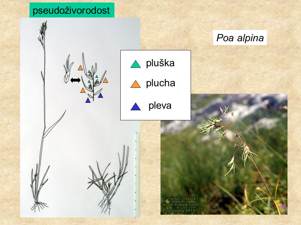 Poa alpina pleva plucha pluška pseudoživorodost