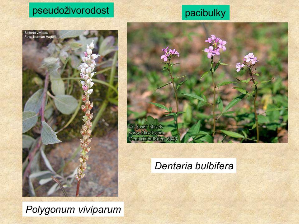 Polygonum viviparum Dentaria bulbifera pseudoživorodost pacibulky