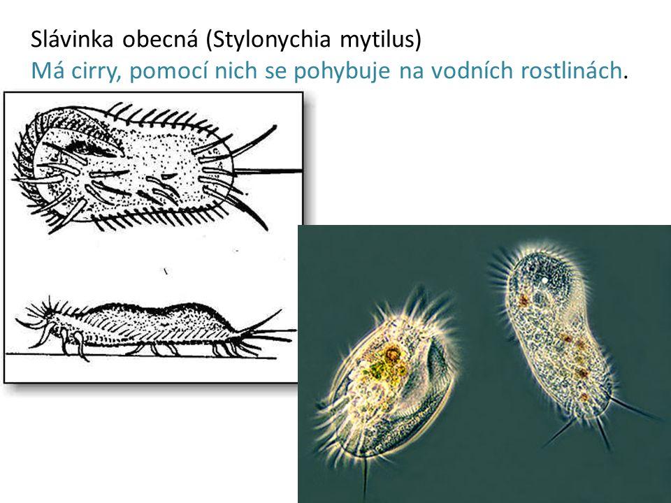 Slávinka obecná (Stylonychia mytilus) Má cirry, pomocí nich se pohybuje na vodních rostlinách.