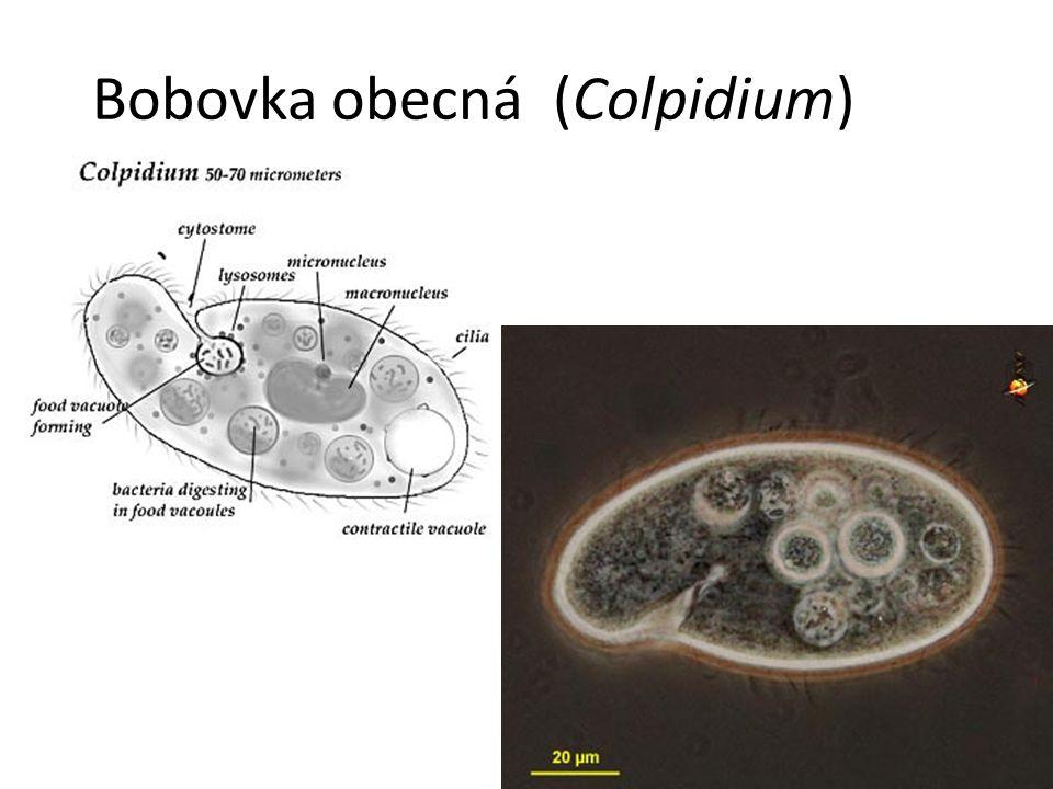 Bobovka obecná (Colpidium)