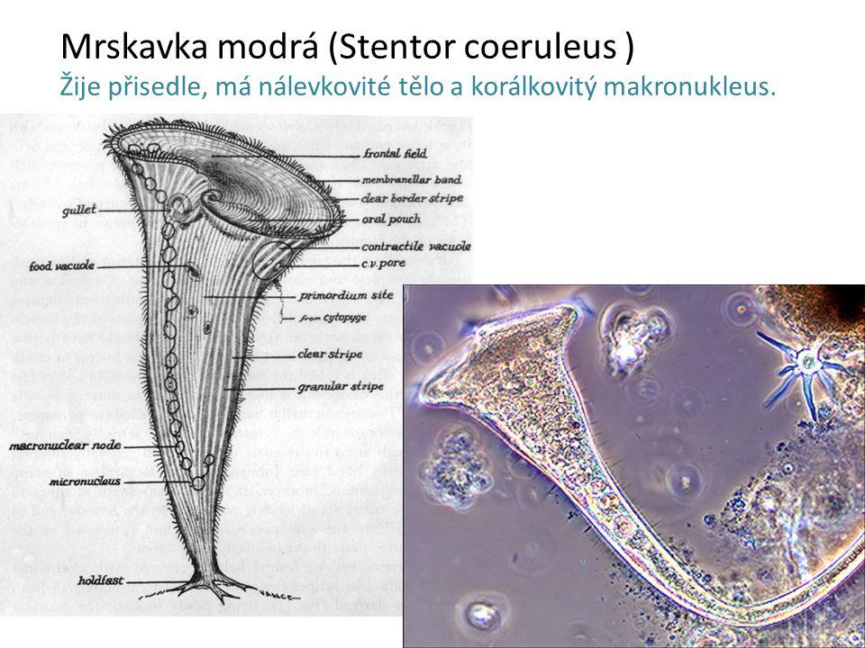 Mrskavka modrá (Stentor coeruleus ) Žije přisedle, má nálevkovité tělo a korálkovitý makronukleus.