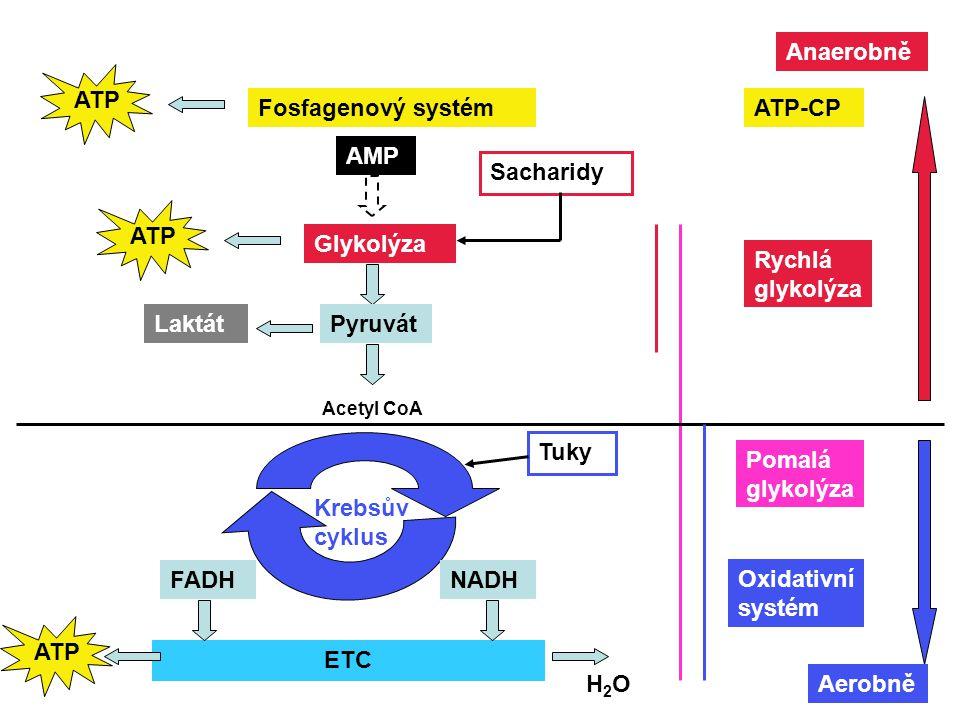 Fosfagenový systém ATP AMP Glykolýza Sacharidy ATP PyruvátLaktát Acetyl CoA Krebsův cyklus Tuky NADHFADH ETC ATP H2OH2O Pomalá glykolýza Rychlá glykol