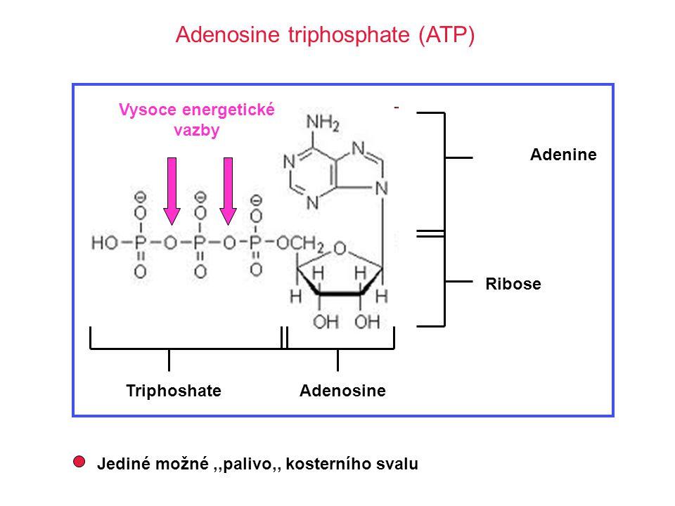 Adenosine triphosphate (ATP) Adenine TriphoshateAdenosine Ribose Vysoce energetické vazby Jediné možné,,palivo,, kosterního svalu