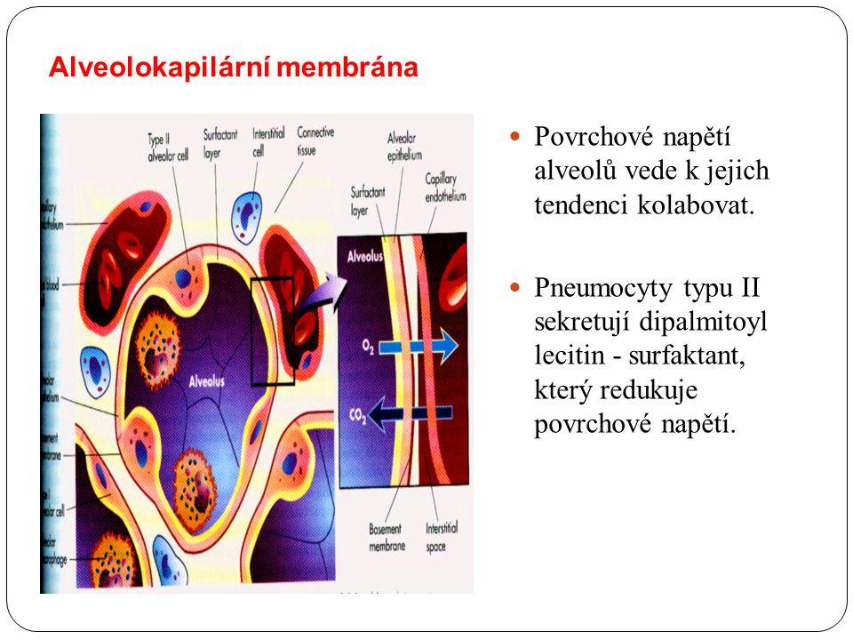 Alveolokapilární membrána Povrchové napětí alveolů vede k jejich tendenci kolabovat. Pneumocyty typu II sekretují dipalmitoyl lecitin - surfaktant, kt