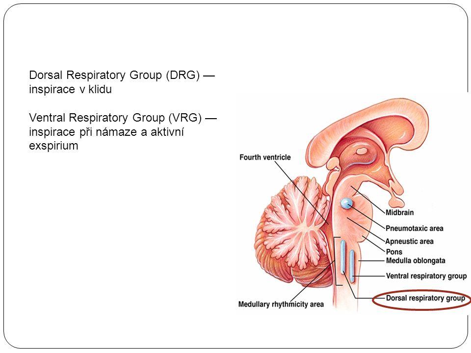 Dorsal Respiratory Group (DRG) — inspirace v klidu Ventral Respiratory Group (VRG) — inspirace při námaze a aktivní exspirium
