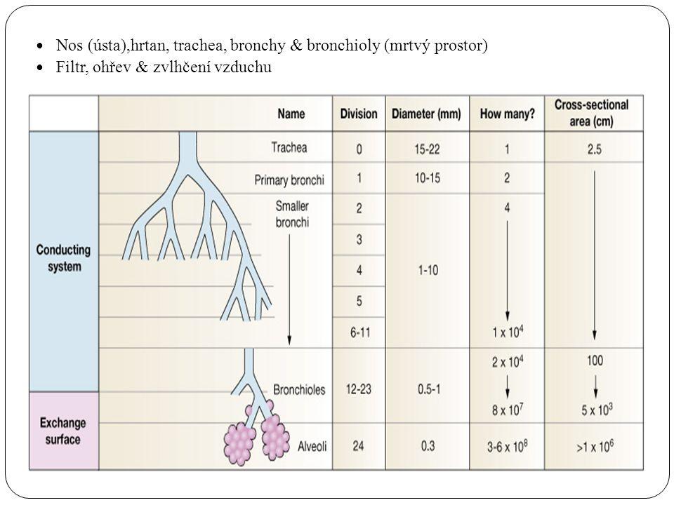 Změny struktury bronchiální stěny Během prvních 7 větvení mají bronchy  Stěnu skládající se z chupavky a hladkého svalstva  Epiteliální řasinkový epitel  Žlázky sekretující hlen  Endokrinní buňky – Kulchitského nebo APUD (amine precursor and uptake decarboxylation), které obsahují serotonin V dalších 16-18 větveních bronchy  Neobsahují chrupavky ani svalovou vrstvu a jsou stále tenší  Jednu vrstvu buněk řasinkového epitelu s jen velmi malým počtem pohárkových buněk  Granulované Clara buňky, které produkují látku podobnou surfaktantu