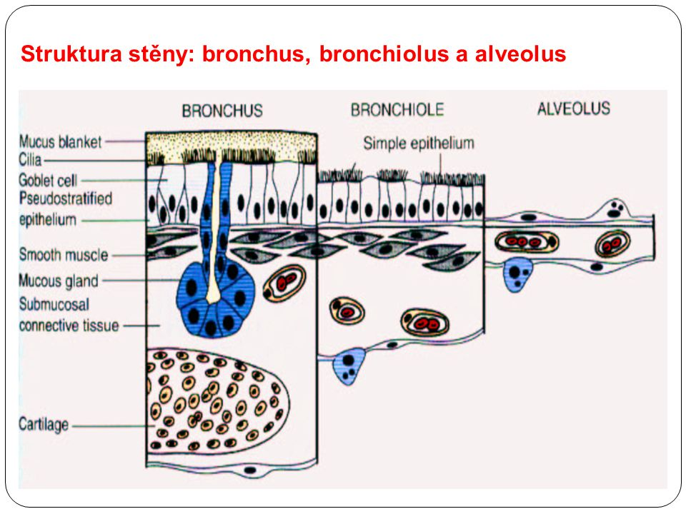 Struktura stěny: bronchus, bronchiolus a alveolus
