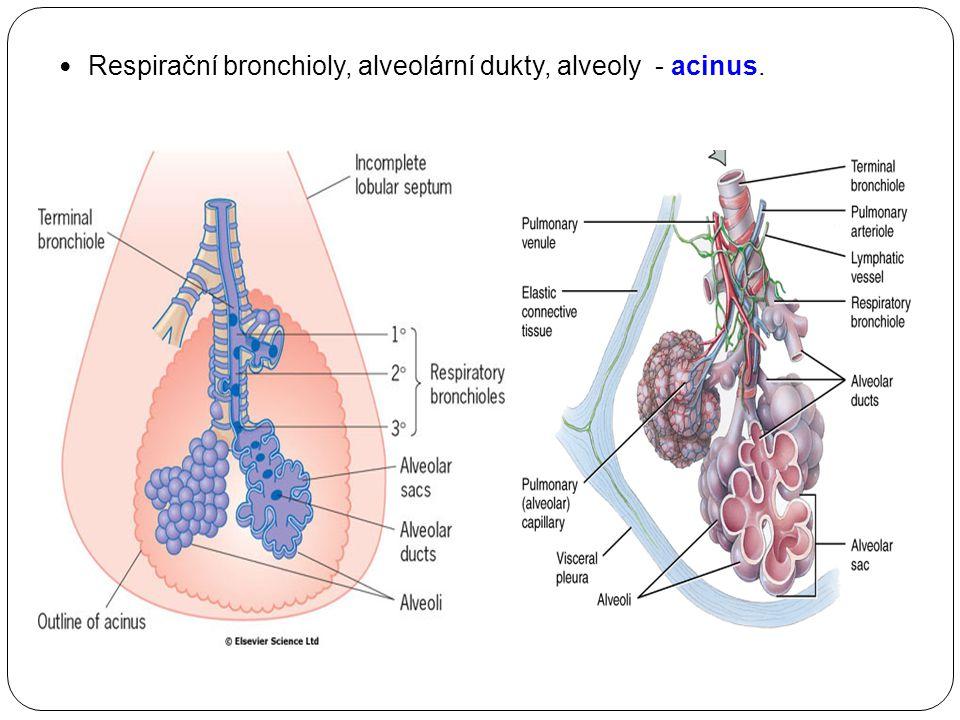 Pleura  Vrstva pojivové tkán ě pokrytá jednoduchým dlaždicovým epitelem.