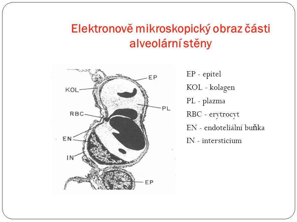 Elektronově mikroskopický obraz části alveolární stěny EP - epitel KOL - kolagen PL - plazma RBC - erytrocyt EN - endoteliální bu ň ka IN - interstici