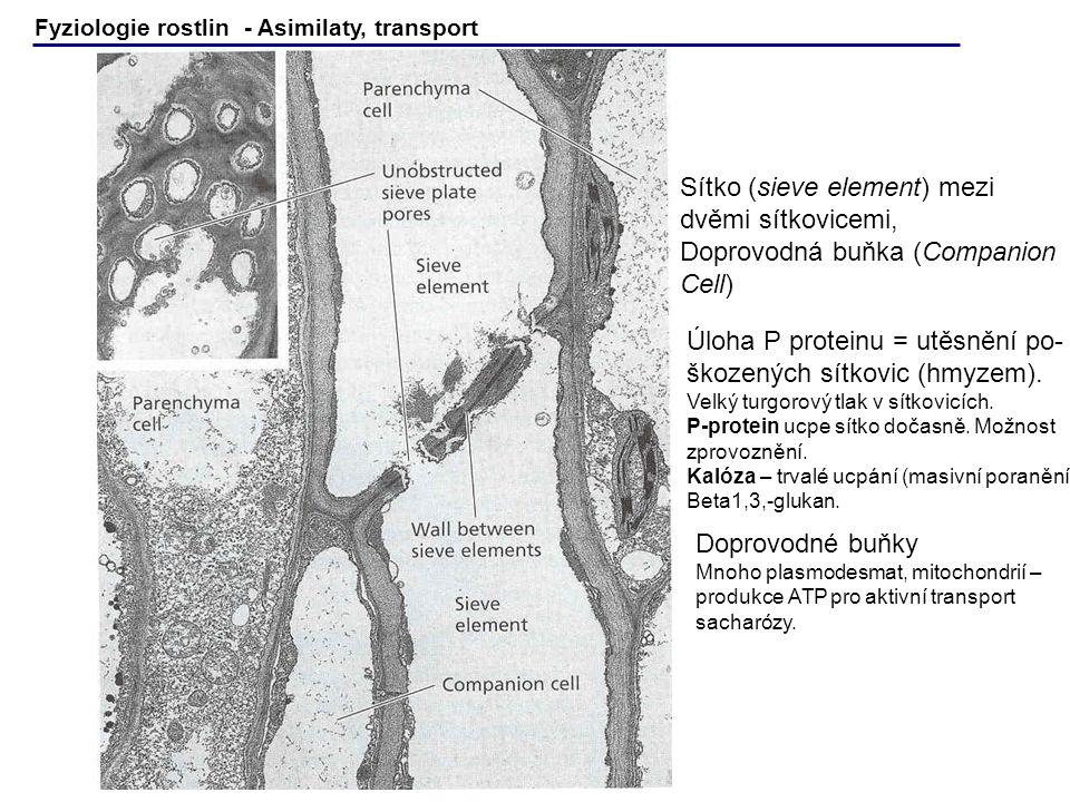 Sítko (sieve element) mezi dvěmi sítkovicemi, Doprovodná buňka (Companion Cell) Úloha P proteinu = utěsnění po- škozených sítkovic (hmyzem). Velký tur