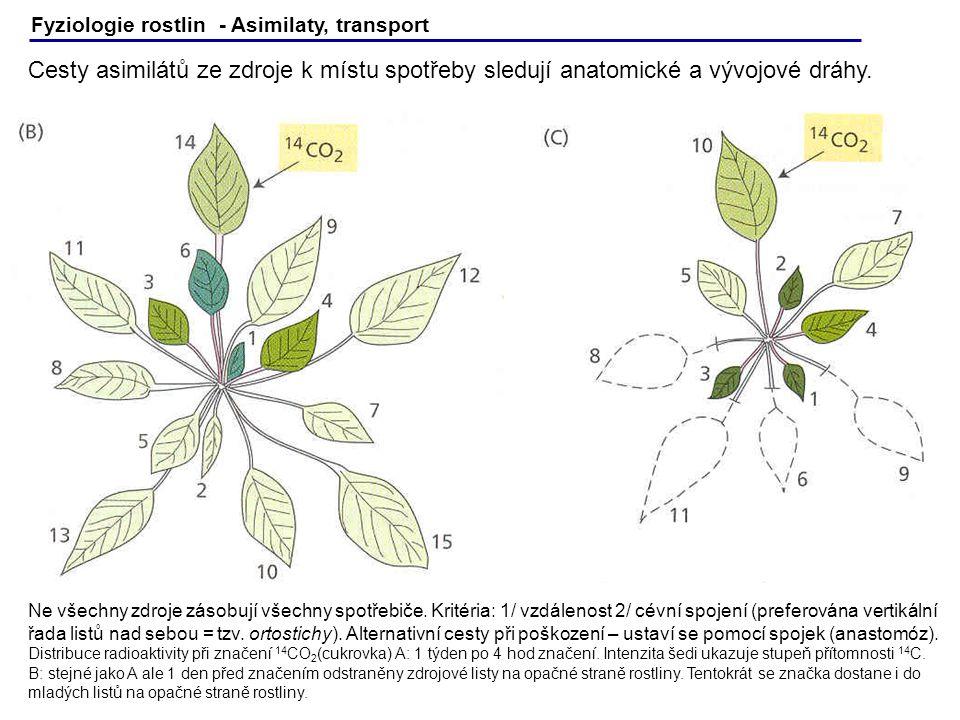 Fyziologie rostlin - Asimilaty, transport Cesty asimilátů ze zdroje k místu spotřeby sledují anatomické a vývojové dráhy. Ne všechny zdroje zásobují v