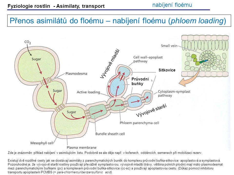 Fyziologie rostlin - Asimilaty, transport Přenos asimilátů do floému – nabíjení floému (phloem loading) Zde je znázorněn příklad nabíjení v asimilujíc