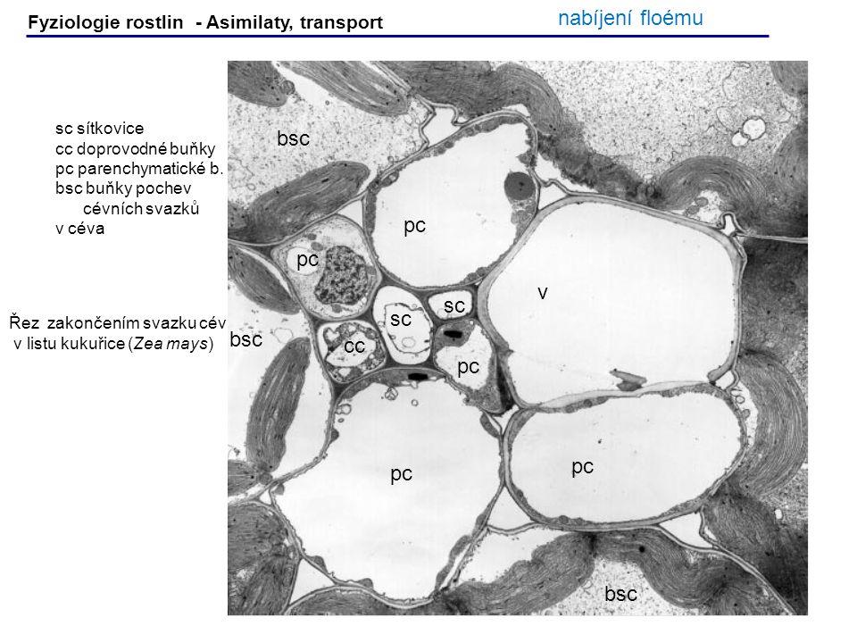 Fyziologie rostlin - Asimilaty, transport sc sítkovice cc doprovodné buňky pc parenchymatické b. bsc buňky pochev cévních svazků v céva v sc cc pc bsc