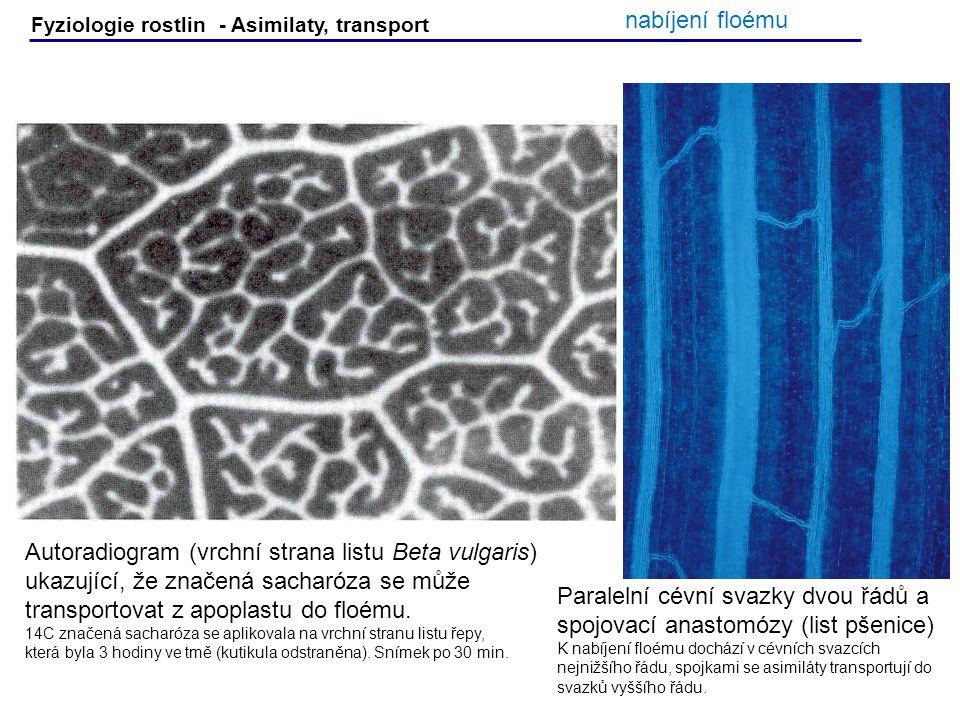 Fyziologie rostlin - Asimilaty, transport Autoradiogram (vrchní strana listu Beta vulgaris) ukazující, že značená sacharóza se může transportovat z ap