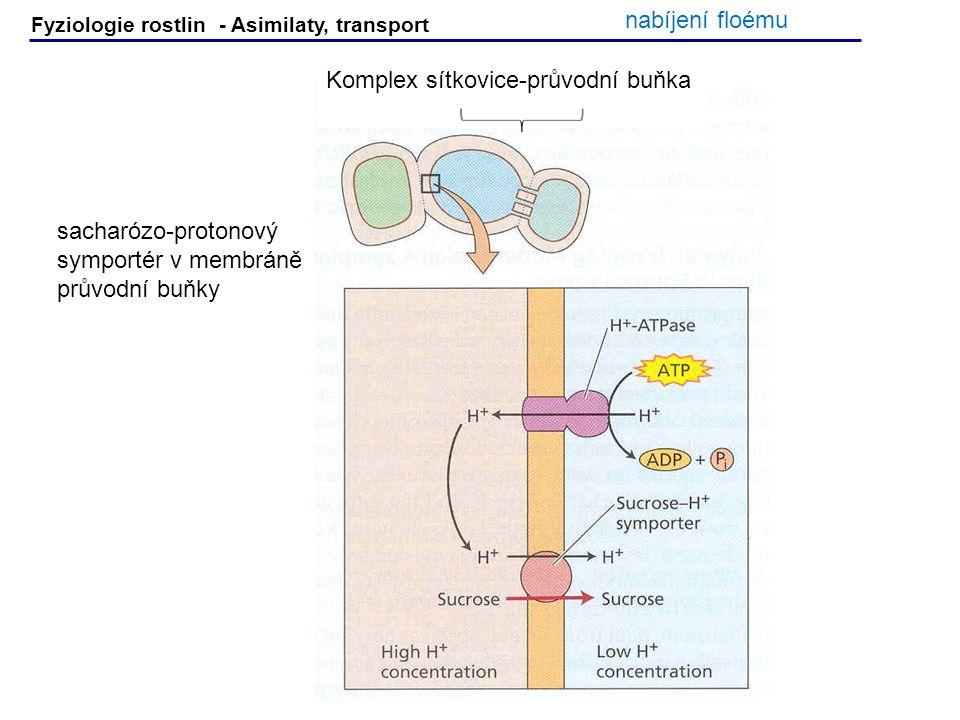 Fyziologie rostlin - Asimilaty, transport sacharózo-protonový symportér v membráně průvodní buňky Komplex sítkovice-průvodní buňka nabíjení floému