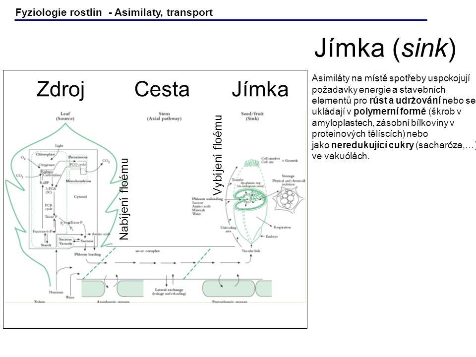 Fyziologie rostlin - Asimilaty, transport Asimiláty na místě spotřeby uspokojují požadavky energie a stavebních elementů pro růst a udržování nebo se