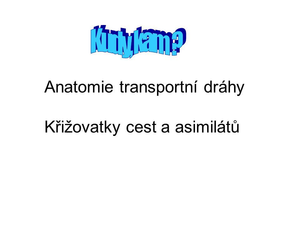 Anatomie transportní dráhy Křižovatky cest a asimilátů
