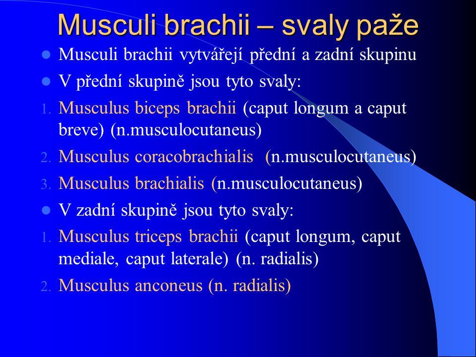 Musculi brachii – svaly paže Musculi brachii vytvářejí přední a zadní skupinu V přední skupině jsou tyto svaly: 1. Musculus biceps brachii (caput long